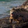 Male Galapagos Marine iguana