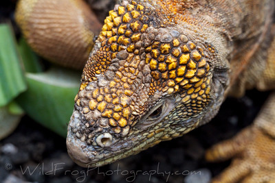 looking down on the head of Land iguana