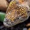 Land iguana head