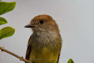Galapagos Yellow Flycatcher