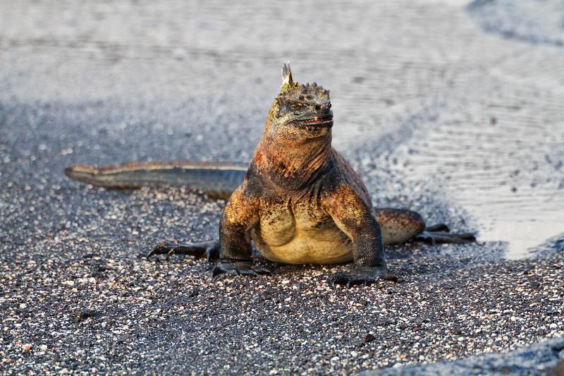 large iguana on the beach