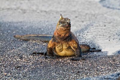 Marine iguana coming ashore