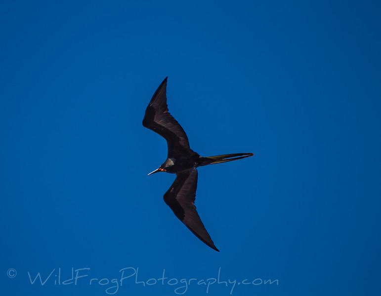 Galapagos island Frigate Bird