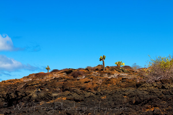 Cactus growing on old lava field