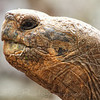 Giant Galapagos Tortoise side view of head