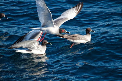 Swallow tailed gulls feeding
