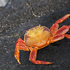 Very bright Sallylight foot crab