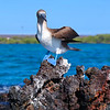 Blue_footed_booby_on_rock