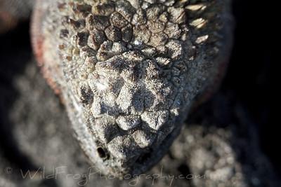 Looking down on the head of Marine iguana