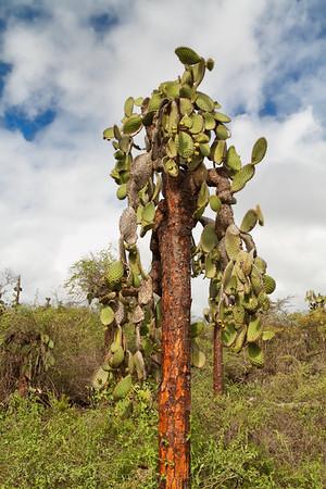 Tall Galapagos Cactus