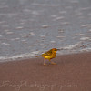 Yellow warbler feeding on beach