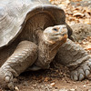 Giant Galapagos Tortoise at play