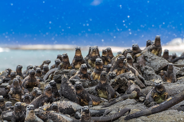 Big group of Marine iquanas taking in the sun