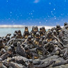 Group of Marine iguanas