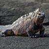 Big marine iguana