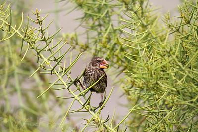 Female Galapagos Ground Finch feeding