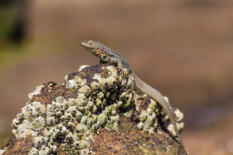 Lava lizard on rock