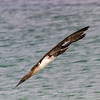 Bluefooted booby diving