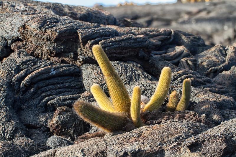 Lava cactus in sun