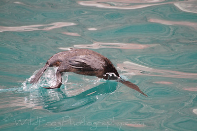 Flightless Cormorant about to start there dive
