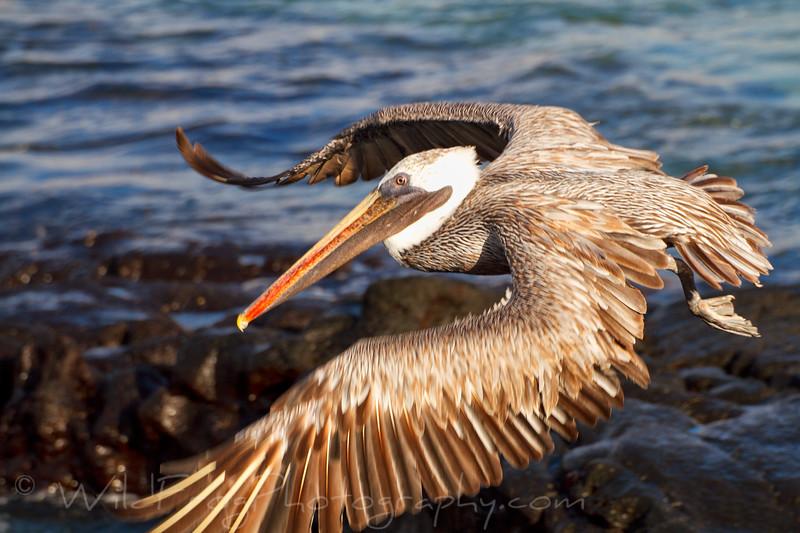 Brown Pelican flying by