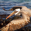 Brown Pelican flying by