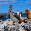 Blue footed booby and friends