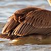 Wings of Brown Pelican