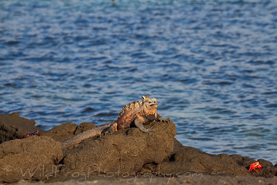 Marine iguana taking in the sun with a lava lizard and Sally lightfoot crab