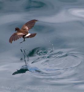Dancing Bird - Elliot's Storm Petrel