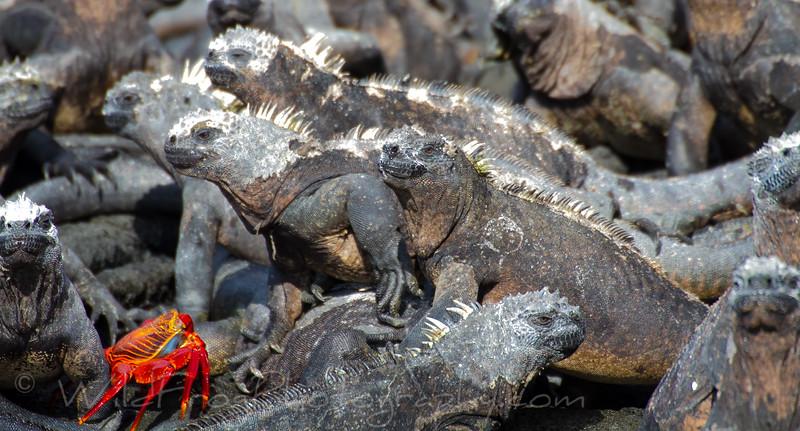 Sallylight foot crab and Marine iguanas