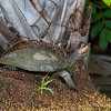 Yellow spotted side-necked turtle
