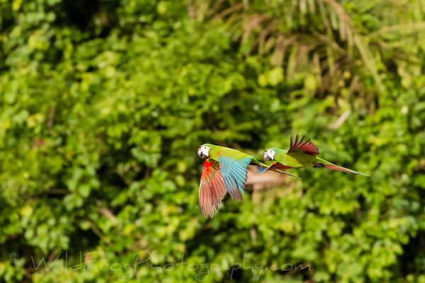 Macaws doing a fly by