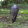 Lucy the Peccary, local keep them as pets