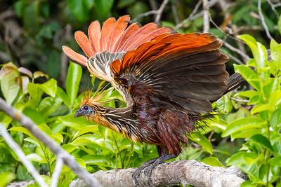 Hoatzin (Opisthocomus hoazin)Punk-Chicken