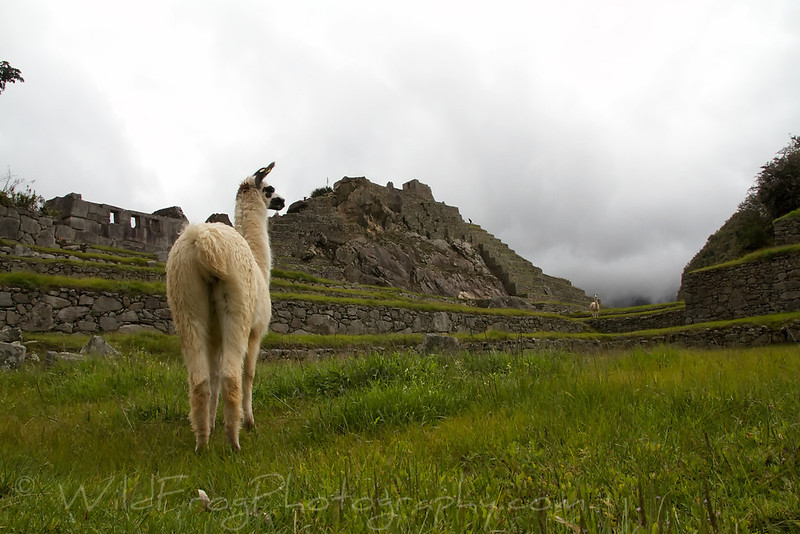 Young llamas grazing at Machu Picchu - Andes Mountains
