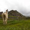 Young llamas grazing at Machu Picchu - Andes Mountains