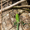 Amazon Race Runner Lizard