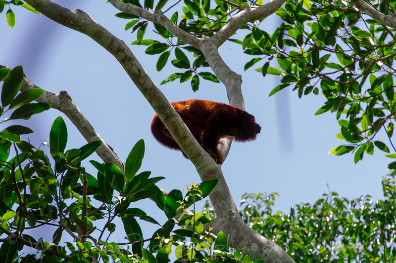 Male, Red Howler Monkey