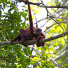 Red Howler Monkey Female with her baby