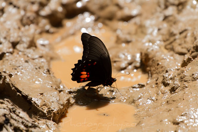 One of the many butterflies to be found in the Amazon