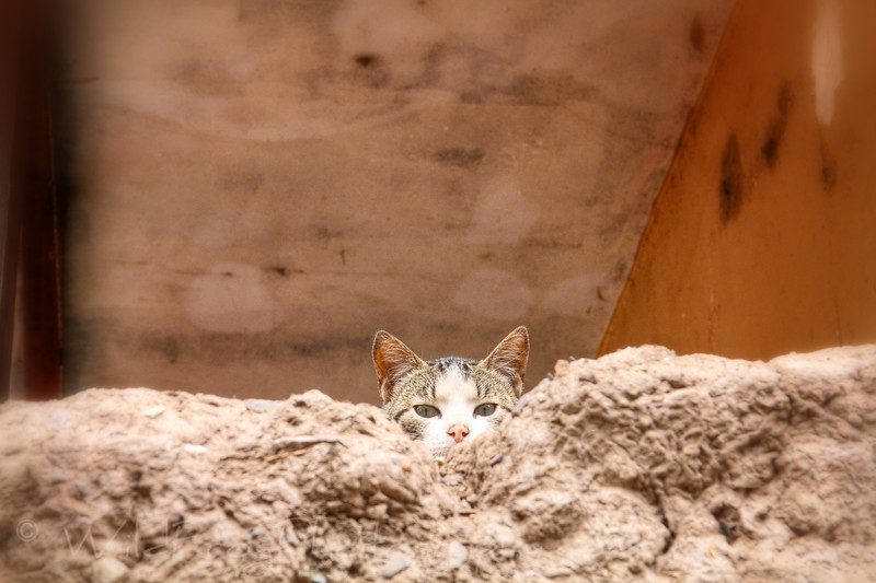 cat looking over the wall