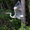 Cocoi Heron taking off