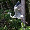 Cocoi Heron taking off