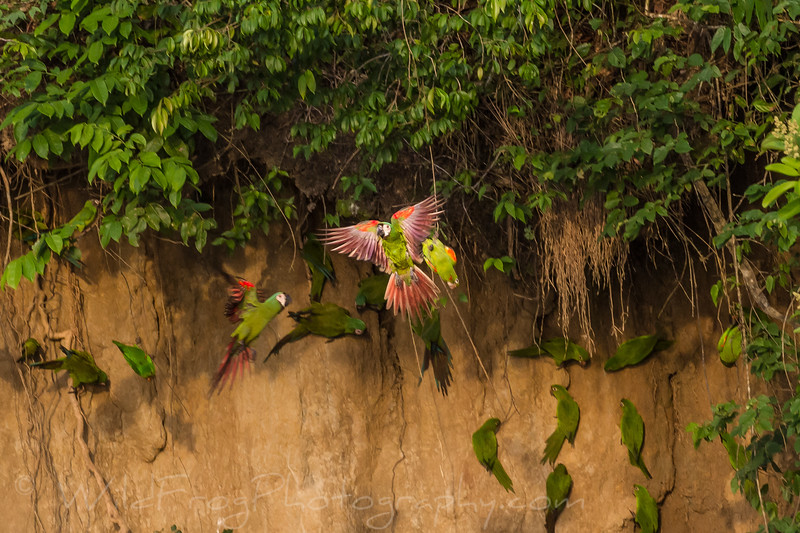 parrots at thier salt lick, Chestnut fronted Macaw and Meally Amazons