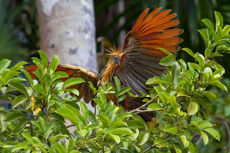 Hoatzin (Opisthocomus hoazin) Punk Chicken
