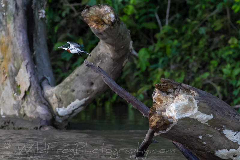 Kingfisher taking off from his watch point on the river