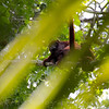 Red Howler Monkey looking down on me. Female with her baby