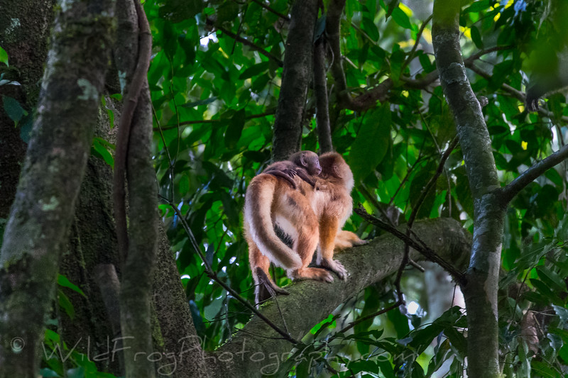 Capuchin Monkey, Mother and baby