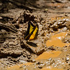One of the many butterflies to be found in the Amazon to be found in the Amazon